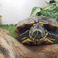 Adopt A Pet :: Mertyl - Pefferlaw, ON