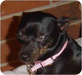 Miniature Pinscher Dog for adoption in Stafford, Virginia - Lola