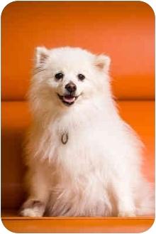 American Eskimo Dog Dog for adoption in Portland, Oregon - America