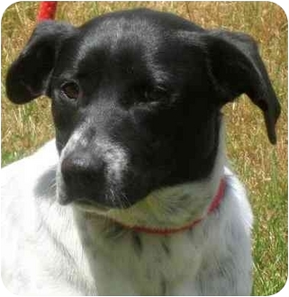Beagle/Border Collie Mix Dog for adoption in Pawling, New York - DI DI