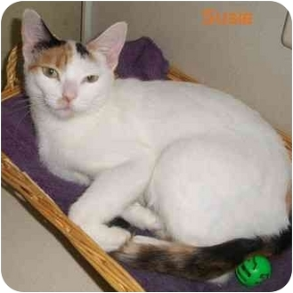 Domestic Shorthair Cat for adoption in Slidell, Louisiana - Susie