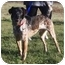 Photo 2 - German Shorthaired Pointer Mix Dog for adoption in Osseo, Minnesota - Alger