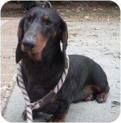 Dachshund Dog for adoption in Encino, California - Shelly