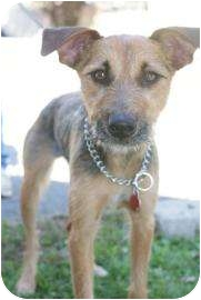 Airedale Terrier Mix Dog for adoption in Rockaway, New Jersey - Marcus