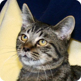 Domestic Shorthair Cat for adoption in South Haven, Michigan - Skittles