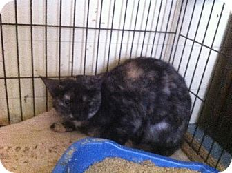 Domestic Shorthair Cat for adoption in Arlington/Ft Worth, Texas - Turtle
