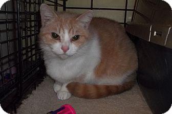 Domestic Shorthair Cat for adoption in Acme, Pennsylvania - Fiona