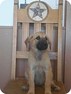 Anatolian Shepherd/Great Pyrenees Mix Puppy for adoption in Stephenville, Texas - Roxie