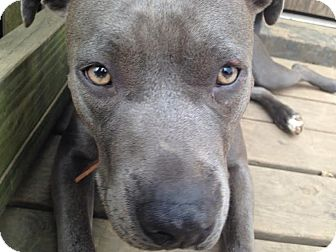 Pit Bull Terrier Mix Dog for adoption in Nashville, Tennessee - Xena