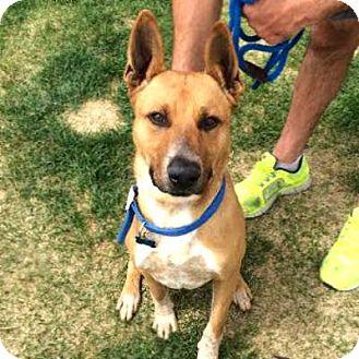 Shepherd (Unknown Type)/Australian Cattle Dog Mix Dog for adoption in Denver, Colorado - Apache