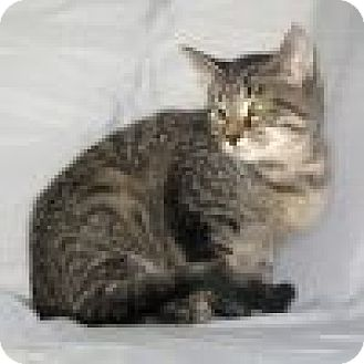 Domestic Shorthair Cat for adoption in Powell, Ohio - Katty