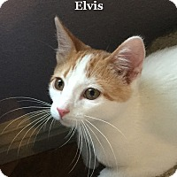 Adopt A Pet :: Elvis - Bentonville, AR