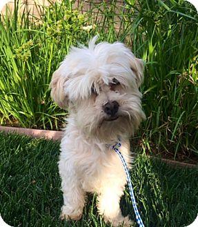 Maltese Mix Dog for adoption in Irvine, California - ZEKE