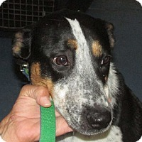 Adopt A Pet :: Lilly - Greeley, CO