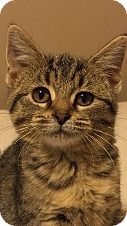 Domestic Shorthair Kitten for adoption in Des Moines, Iowa - Baby