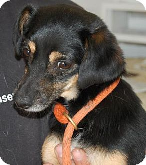 Chihuahua Mix Dog for adoption in Brooklyn, New York - Christoff