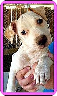 Australian Cattle Dog Mix Puppy for adoption in West Los Angeles, California - Ally