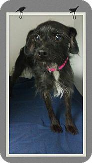 Border Terrier Mix Dog for adoption in Apache Junction, Arizona - Godiva