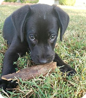 Labrador Retriever Mix Puppy for adoption in Knoxville, Tennessee - Kylo