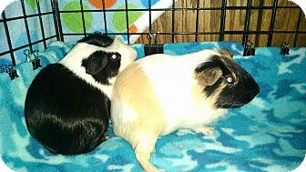 Guinea Pig for adoption in Altoona, Wisconsin - Chuck