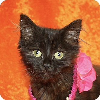 Domestic Longhair Kitten for adoption in Jackson, Michigan - Kia