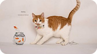 Domestic Shorthair Cat for adoption in Sherman Oaks, California - Dabby