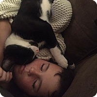 American Shorthair Kitten for adoption in Albemarle, North Carolina - Remi