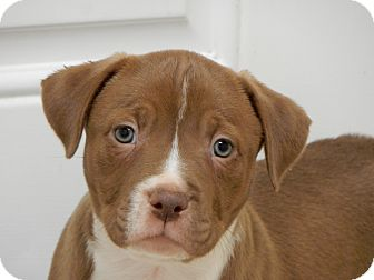 American Staffordshire Terrier Mix Puppy for adoption in Long Beach, New York - Albany