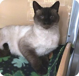 Siamese Cat for adoption in Springfield, Oregon - Tuck