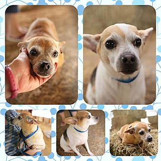 Chihuahua Mix Dog for adoption in Madison, Wisconsin - Marvin and Mitzi, Reduced fee!