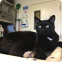 Domestic Shorthair Cat for adoption in Bridgewater, New Jersey - Boo