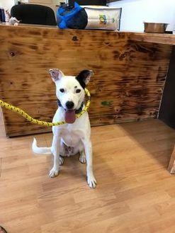 Border Collie/Australian Cattle Dog Mix Dog for adoption in Wickenburg, Arizona - Gus