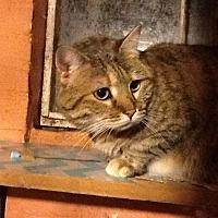 Adopt A Pet :: Goldie - Fairfax, VA