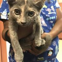 Domestic Shorthair/Domestic Shorthair Mix Cat for adoption in Miami, Florida - Courtney