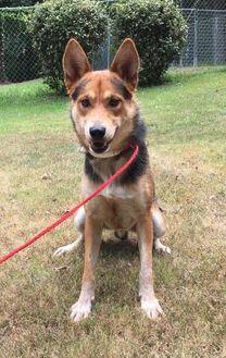 Shepherd (Unknown Type) Mix Dog for adoption in Sanford, North Carolina - Maxton