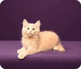 Maine Coon Cat for adoption in Cary, North Carolina - Jeremy Fisher (Kitten)