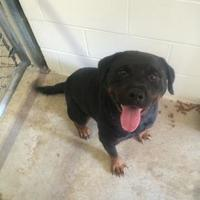 Adopt A Pet :: Lola - Kirby, TX