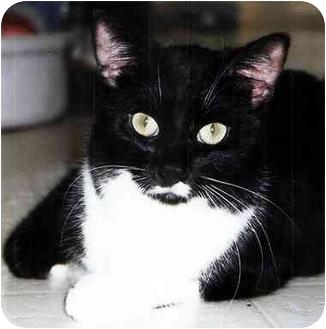 Domestic Shorthair Cat for adoption in Medway, Massachusetts - Bosco