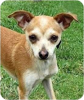 Chihuahua Mix Dog for adoption in Santa Barbara, California - Twiggy