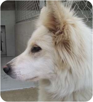 German Shepherd Dog Mix Dog for adoption in Grants Pass, Oregon - Chassi