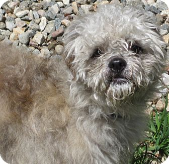 Poodle (Miniature)/Bichon Frise Mix Dog for adoption in Manchester, Connecticut - Olivia