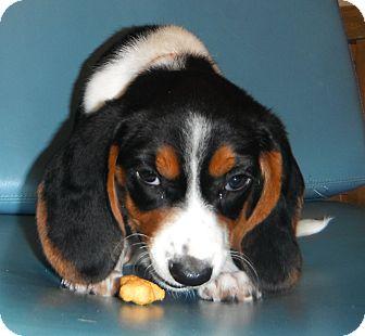 Basset Hound Mix Puppy for adoption in Jackson, Michigan - Dreama