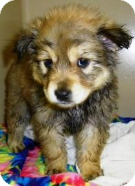 Shepherd (Unknown Type) Mix Puppy for adoption in Lincolnton, North Carolina - Roo