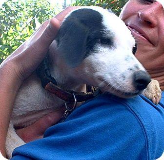 Border Collie/Labrador Retriever Mix Puppy for adoption in San Francisco, California - CHISMA
