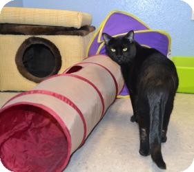 Domestic Shorthair Cat for adoption in Gilbert, Arizona - Sugar
