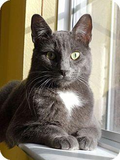 Domestic Shorthair Cat for adoption in Las Vegas, Nevada - Vaughn
