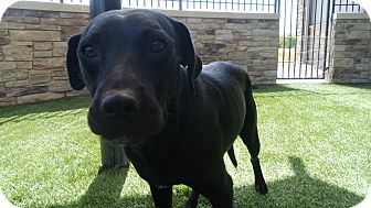 Labrador Retriever Mix Dog for adoption in white settlment, Texas - Lilly