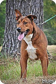 Great Dane/Labrador Retriever Mix Dog for adoption in Jackson, Mississippi - Huey
