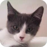 Domestic Shorthair Kitten for adoption in Modesto, California - Ryder