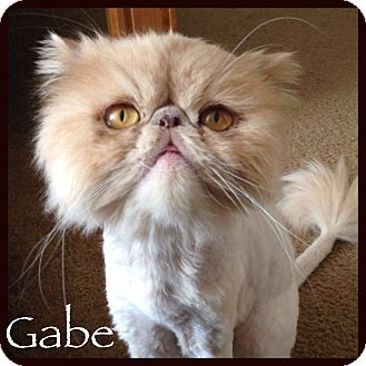 Persian Cat for adoption in Beverly Hills, California - Gabe